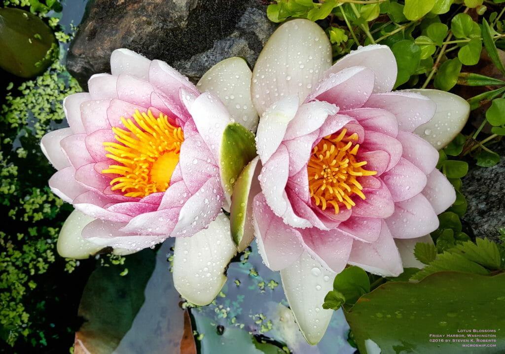 Double Lotus - Steven K Roberts